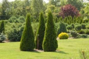 Хвойные деревья в ландшафтном дизайне